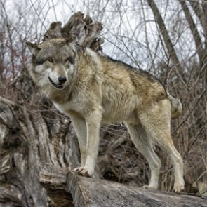 Court upholds decision to remove protections from Oregon wolves