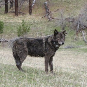 Oregon may delist wolves