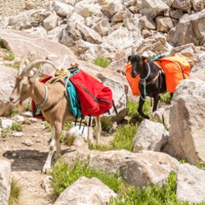 U.S. Forest Service used bad study to create pack goat ban
