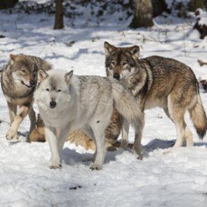 Wolves killing dogs on the rise