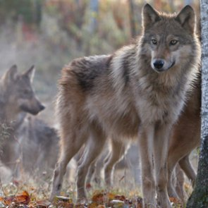 Idaho Fish and Game ordered to stop killing wolves