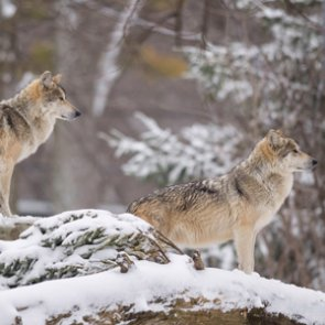 Spearheaded Mexican gray wolf recovery in Utah