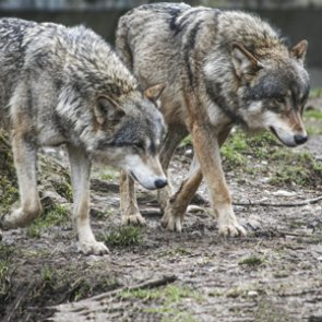 Oregon may delist wolves this fall