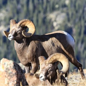Finding the cure for bighorns