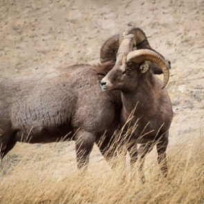 2,900 acres purchased in Idaho to protect bighorn sheep habitat