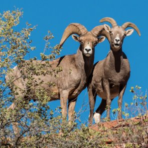 Will this Arizona bighorn herd die-off?