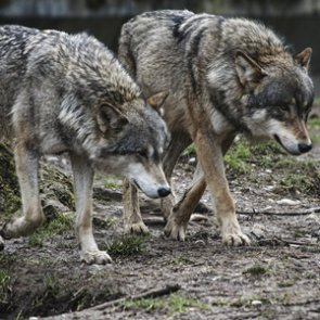 New wolf pack discovered in WA