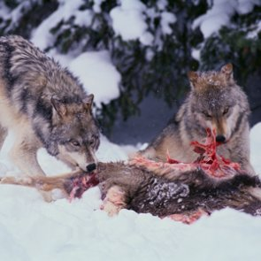 Hunters controlling wolves in Montana