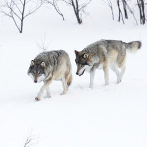 Wyoming wolves lose federal protections