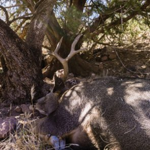 Tactics for bowhunting rutting mule deer
