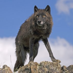 Montana could ban all trapping on public lands