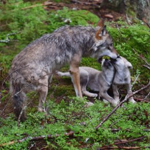NC governor asks federal government to save red wolves