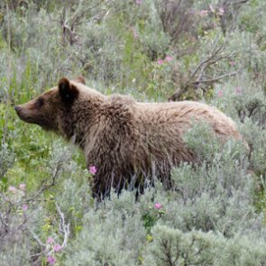 Groups petitioning to reintroduce grizzlies to California