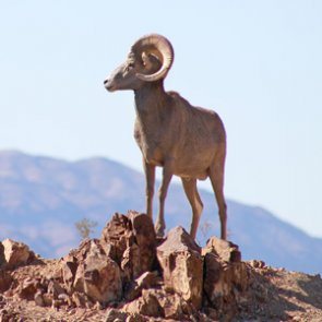 51 bighorn sheep relocated from Nevada to Utah
