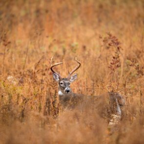 New deer baiting regulations in South Carolina