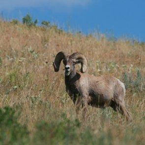 South Dakota bighorn reintroduction reaches potential gridlock