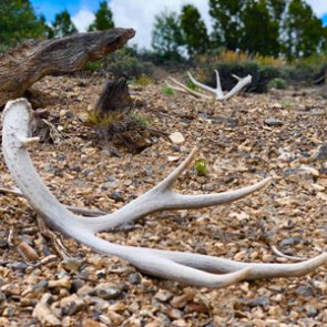 Shed hunting tips and regulations 2020