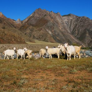 Groups unite to block domestic sheep grazing
