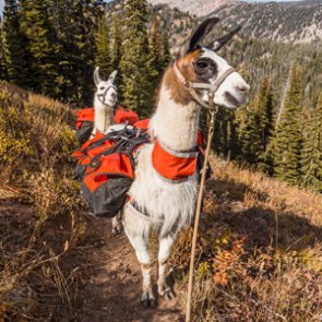 6 reasons why llamas are the ultimate pack animal for hunting