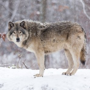 Oregon hunter shoots wolf in self-defense