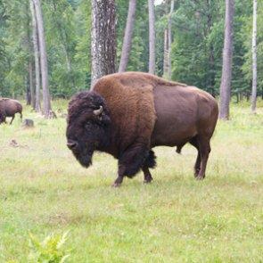 Bison get more room to roam in South Dakota
