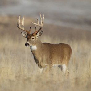 Common pesticide linked to possible birth defects in whitetail deer