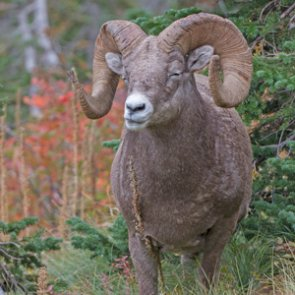 SD makes changes to how funds are used for bighorn sheep auction tag
