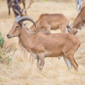 Exotic game species stresses desert bighorn sheep in Texas