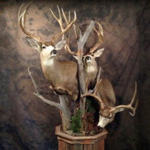 20 creative mule deer mounts