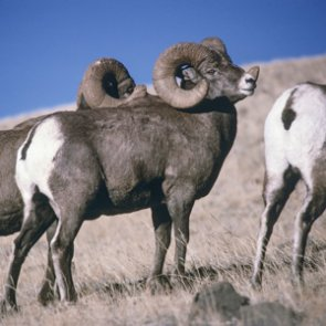 Montana approves OTC bighorn hunt for diseased herd