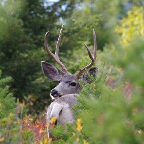 Wyoming poacher pleads guilty to illegally killing four mule deer