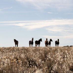 Wild horse roundup in Idaho