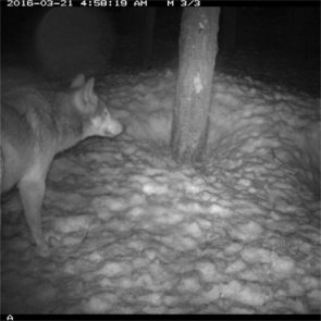 New wolf spotted in California