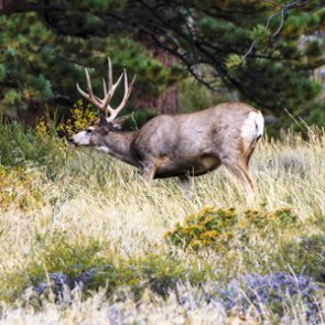 Trio charged with poaching eight mule deer in Colorado
