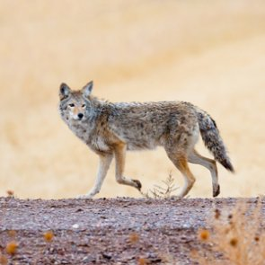 New study determines coyote impact on mule deer