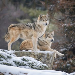 Feds plan to release wolves in New Mexico