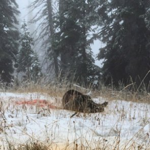 Reflections after a grizzly bear encounter: Thanks, Apologize, Accept