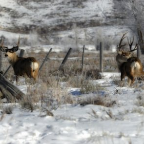 Deer in Cody pose problem for town, officials