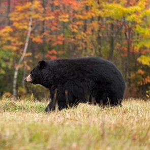 Utah revises black bear management plan