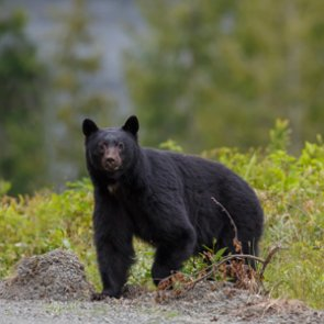 Utah adds more black bear opportunity