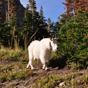 Court upholds Utah's decision to relocate La Sal Mountains' nonnative mountain goats