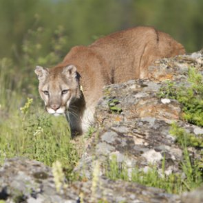 Utah proposes changes for mountain lion and bobcat hunts