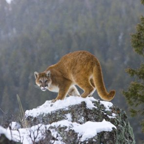 UT lawmaker proposes bill that would target predator populations to help game