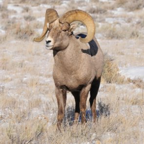 Can Hall Mtn. bighorns come to the genetic rescue?