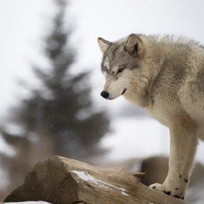 Washington governor wants fewer wolves killed
