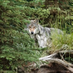 Washington State cancels wolf meetings