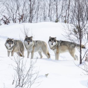 $20,000 reward offered for wolf poacher
