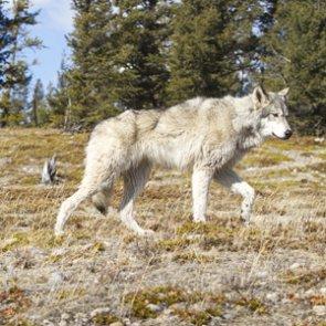 Anti-wolf campaign hits Spokane