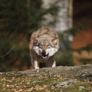 Washington rejects petition to limit killing problem wolves