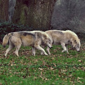 Washington approves removal of problem wolf
